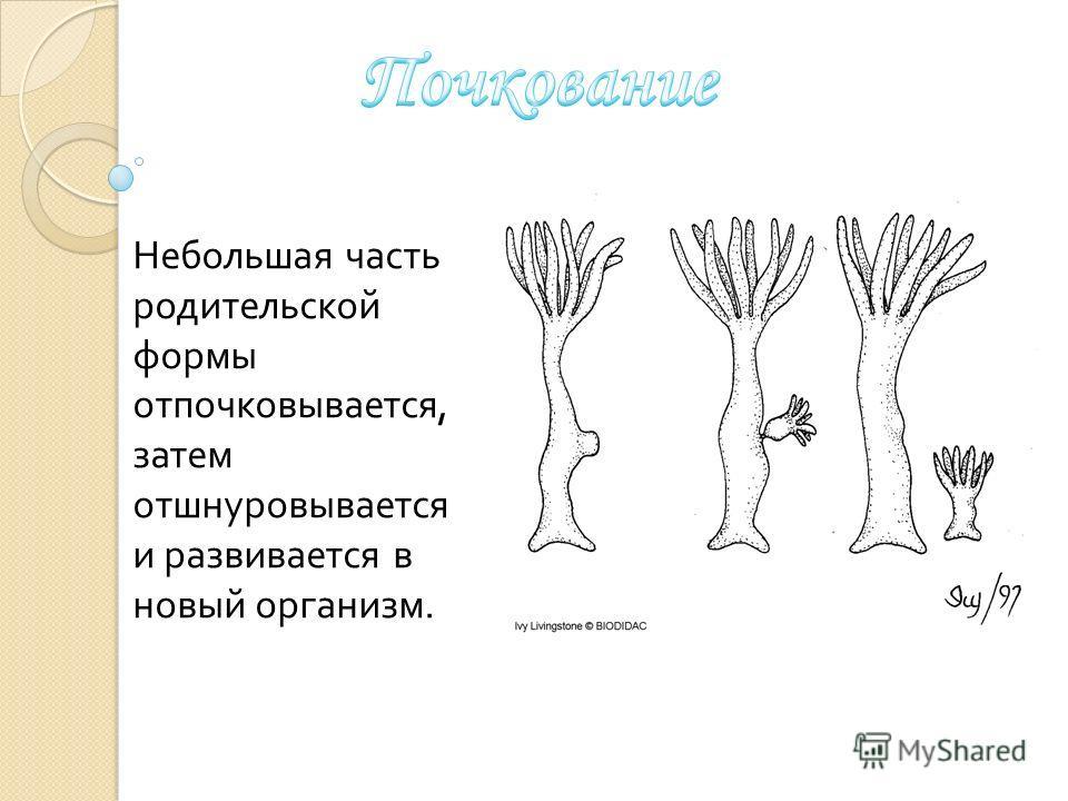 Небольшая часть родительской формы отпочковывается, затем отшнуровывается и развивается в новый организм.