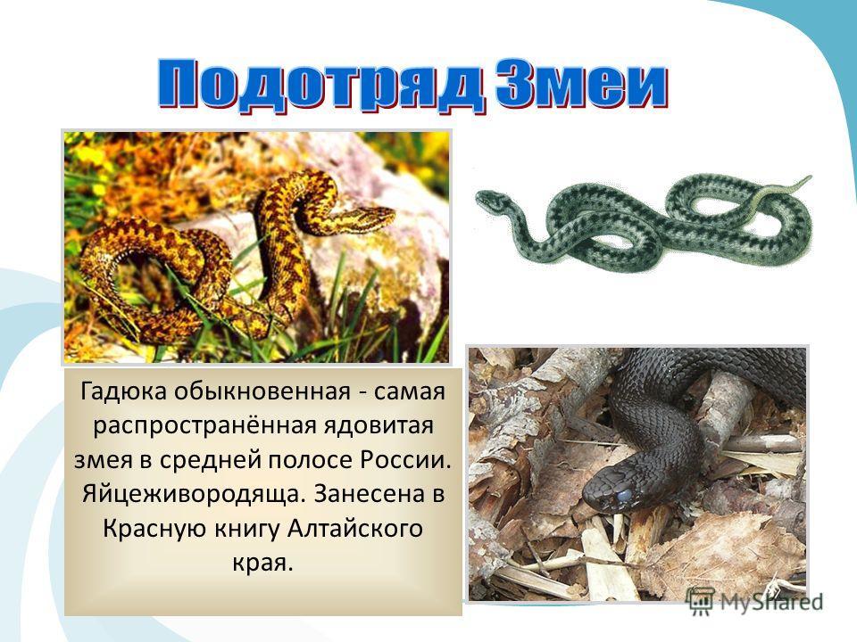 Гадюка обыкновенная - самая распространённая ядовитая змея в средней полосе России. Яйцеживородяща. Занесена в Красную книгу Алтайского края.
