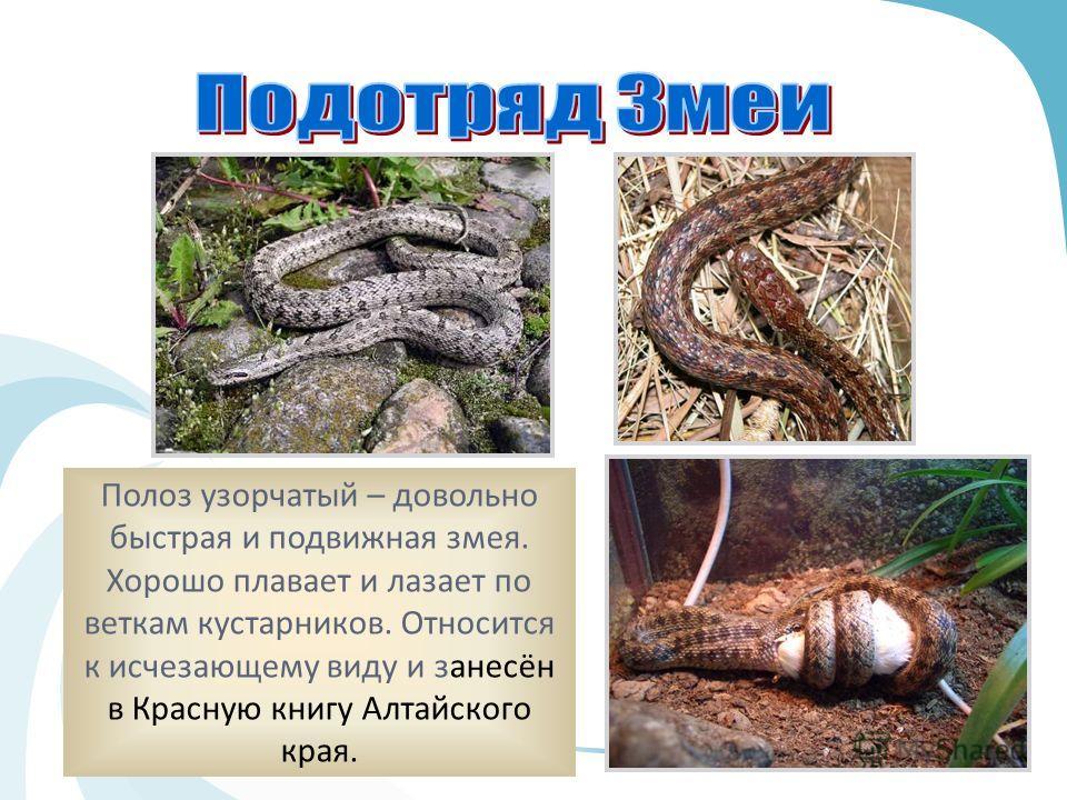 Полоз узорчатый – довольно быстрая и подвижная змея. Хорошо плавает и лазает по веткам кустарников. Относится к исчезающему виду и занесён в Красную книгу Алтайского края.