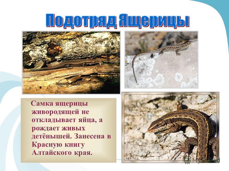 Самка ящерицы живородящей не откладывает яйца, а рождает живых детёнышей. Занесена в Красную книгу Алтайского края.