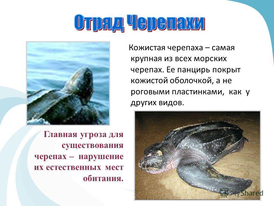 Главная угроза для существования черепах – нарушение их естественных мест обитания. Кожистая черепаха – самая крупная из всех морских черепах. Ее панцирь покрыт кожистой оболочкой, а не роговыми пластинками, как у других видов.