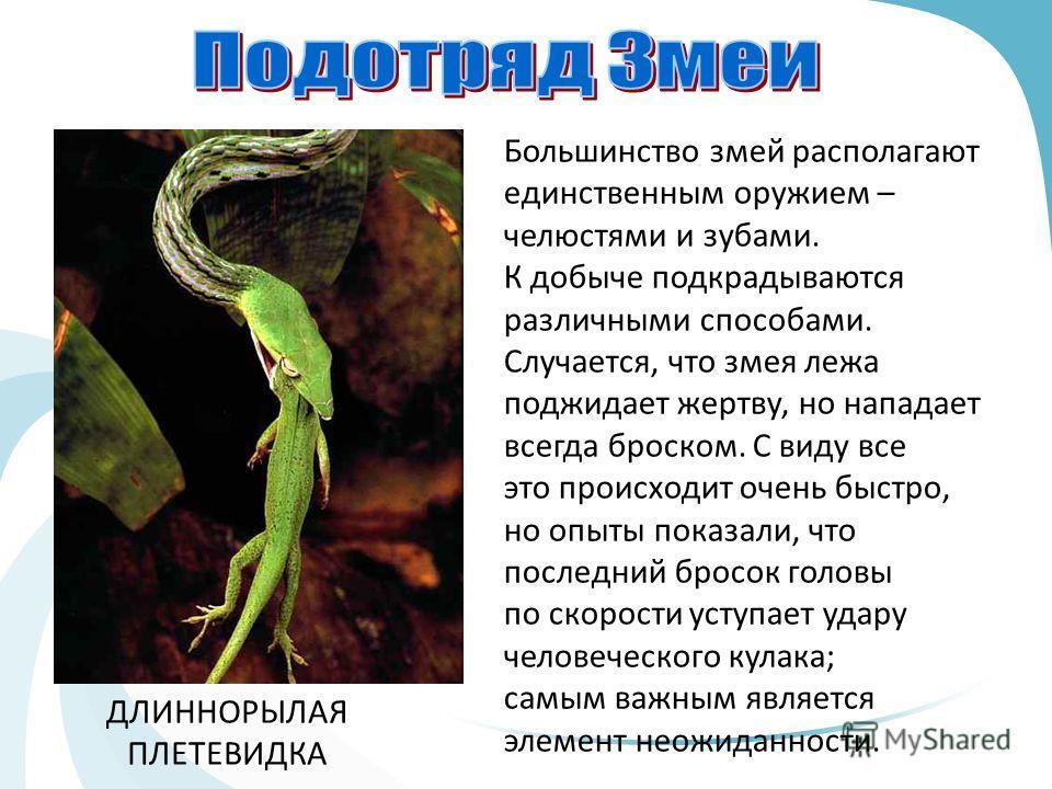 Большинство змей располагают единственным оружием – челюстями и зубами. К добыче подкрадываются различными способами. Случается, что змея лежа поджидает жертву, но нападает всегда броском. С виду все это происходит очень быстро, но опыты показали, чт