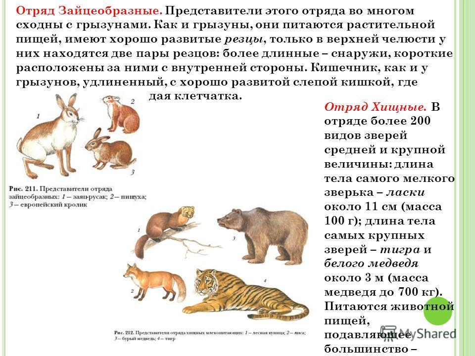 Отряд Зайцеобразные. Представители этого отряда во многом сходны с грызунами. Как и грызуны, они питаются растительной пищей, имеют хорошо развитые резцы, только в верхней челюсти у них находятся две пары резцов: более длинные – снаружи, короткие рас