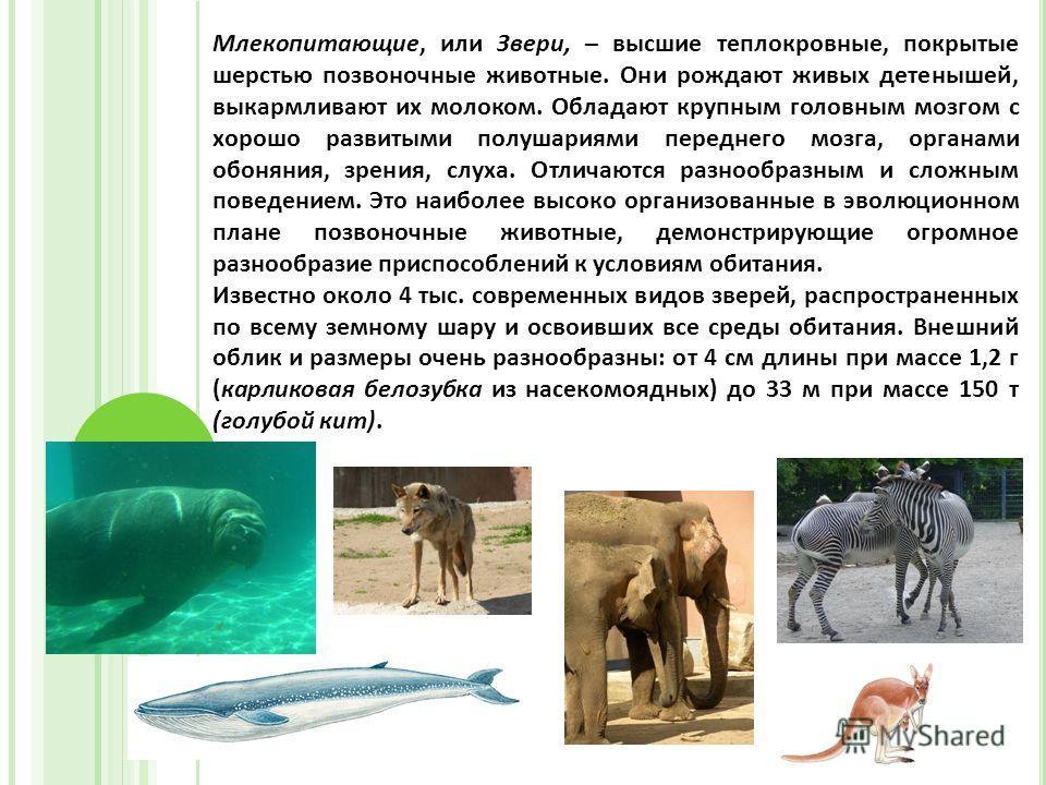 Класс Млекопитающие, или Звери (Mammalia) Млекопитающие, или Звери, – высшие теплокровные, покрытые шерстью позвоночные животные. Они рождают живых детенышей, выкармливают их молоком. Обладают крупным головным мозгом с хорошо развитыми полушариями пе