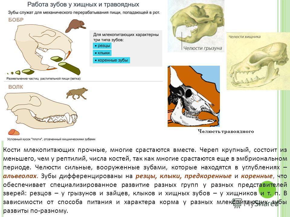 Кости млекопитающих прочные, многие срастаются вместе. Череп крупный, состоит из меньшего, чем у рептилий, числа костей, так как многие срастаются еще в эмбриональном периоде. Челюсти сильные, вооруженные зубами, которые находятся в углублениях – аль