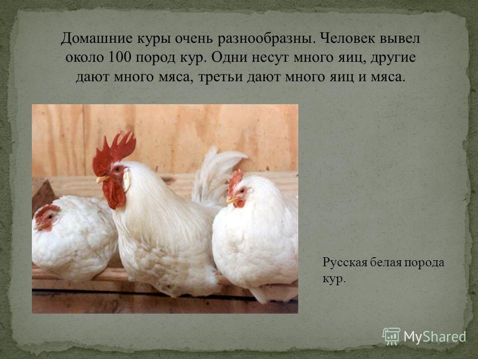 Домашние куры очень разнообразны. Человек вывел около 100 пород кур. Одни несут много яиц, другие дают много мяса, третьи дают много яиц и мяса. Русская белая порода кур.