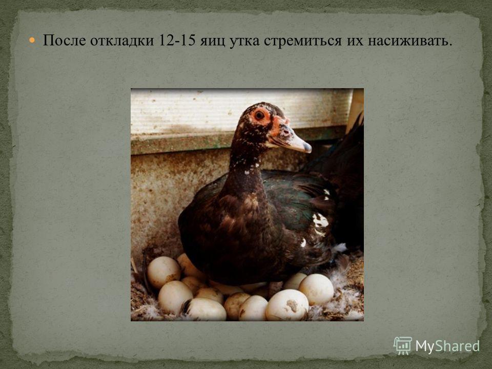 После откладки 12-15 яиц утка стремиться их насиживать.