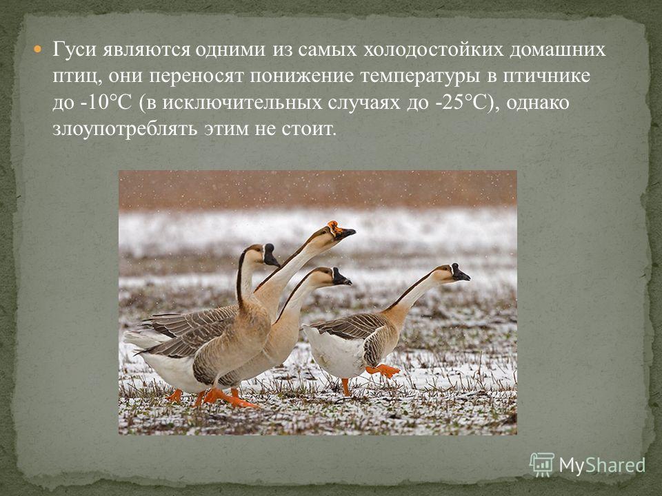 Гуси являются одними из самых холодостойких домашних птиц, они переносят понижение температуры в птичнике до -10°С (в исключительных случаях до -25°С), однако злоупотреблять этим не стоит.