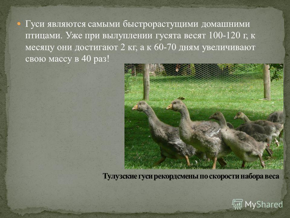 Гуси являются самыми быстрорастущими домашними птицами. Уже при вылуплении гусята весят 100-120 г, к месяцу они достигают 2 кг, а к 60-70 дням увеличивают свою массу в 40 раз!