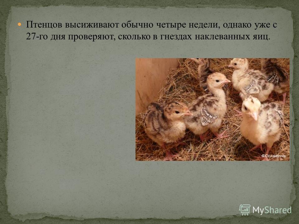 Птенцов высиживают обычно четыре недели, однако уже с 27-го дня проверяют, сколько в гнездах наклеванных яиц.