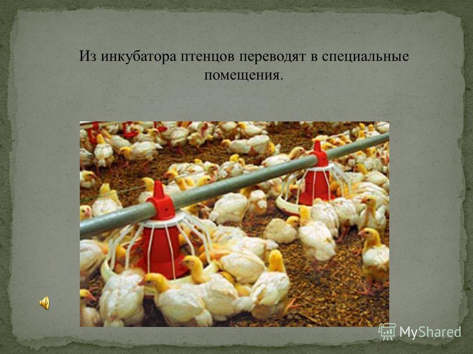 Из инкубатора птенцов переводят в специальные помещения.
