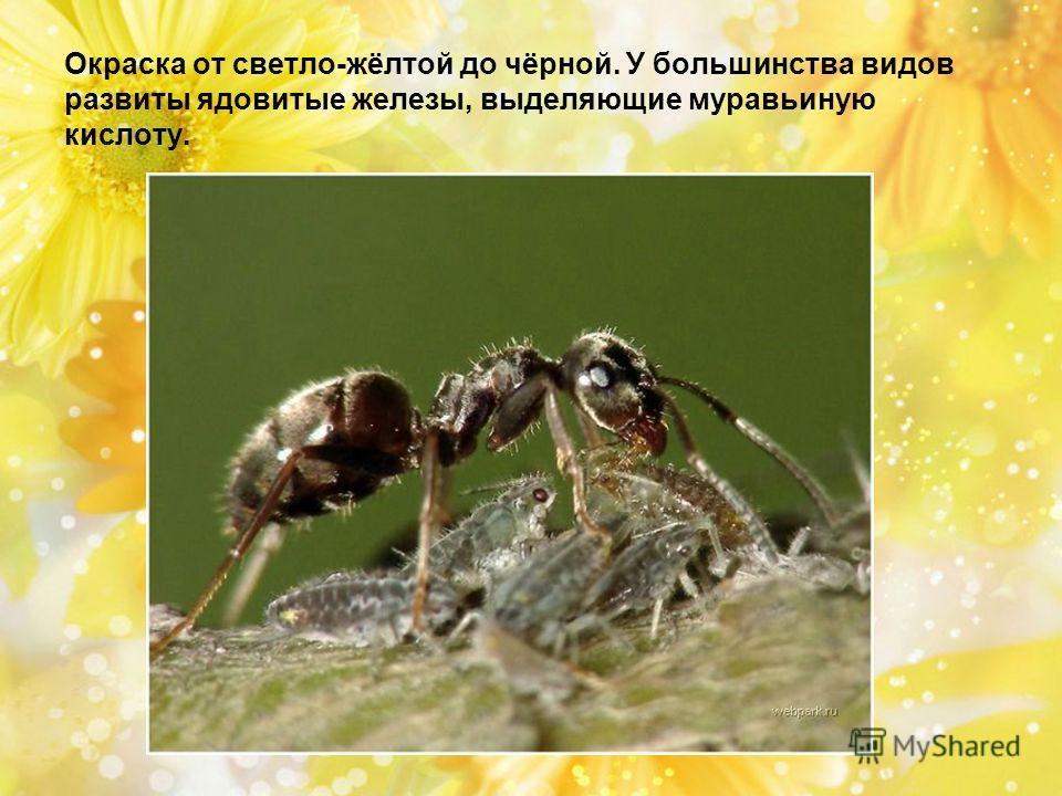 Окраска от светло-жёлтой до чёрной. У большинства видов развиты ядовитые железы, выделяющие муравьиную кислоту.