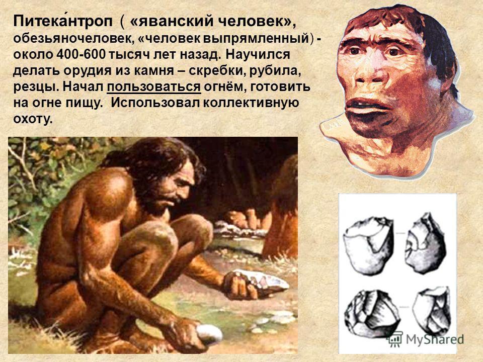 Питека́нтроп ( «яванский человек», обезьяночеловек, «человек выпрямленный) - около 400-600 тысяч лет назад. Научился делать орудия из камня – скребки, рубила, резцы. Начал пользоваться огнём, готовить на огне пищу. Использовал коллективную охоту.