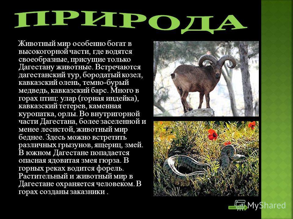 Животный мир особенно богат в высокогорной части, где водятся своеобразные, присущие только Дагестану животные. Встречаются дагестанский тур, бородатый козел, кавказский олень, темно-бурый медведь, кавказский барс. Много в горах птиц: улар (горная ин