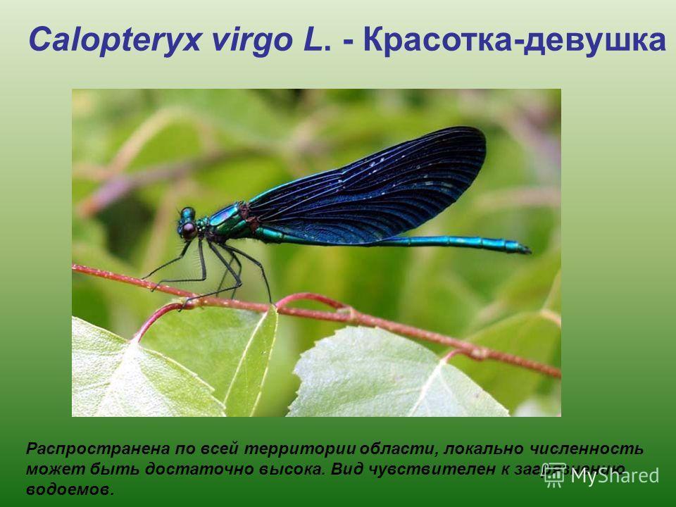 Распространена по всей территории области, локально численность может быть достаточно высока. Вид чувствителен к загрязнению водоемов. Calopteryx virgo L. - Красотка-девушка
