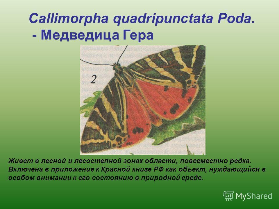 Живет в лесной и лесостепной зонах области, повсеместно редка. Включена в приложение к Красной книге РФ как объект, нуждающийся в особом внимании к его состоянию в природной среде. Callimorpha quadripunctata Poda. - Медведица Гера