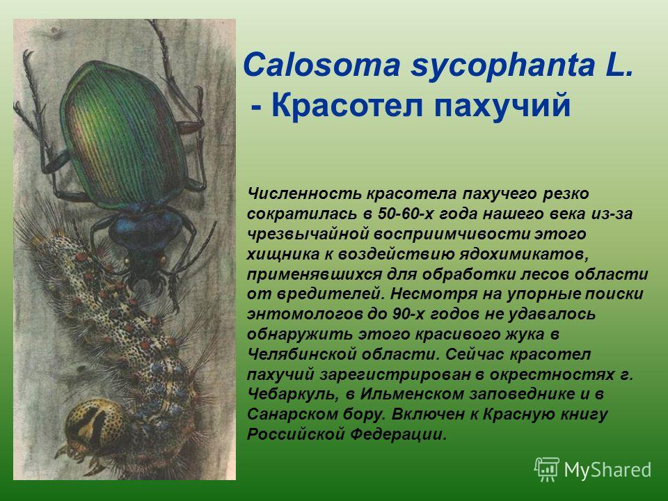 Численность красотела пахучего резко сократилась в 50-60-х года нашего века из-за чрезвычайной восприимчивости этого хищника к воздействию ядохимикатов, применявшихся для обработки лесов области от вредителей. Несмотря на упорные поиски энтомологов д