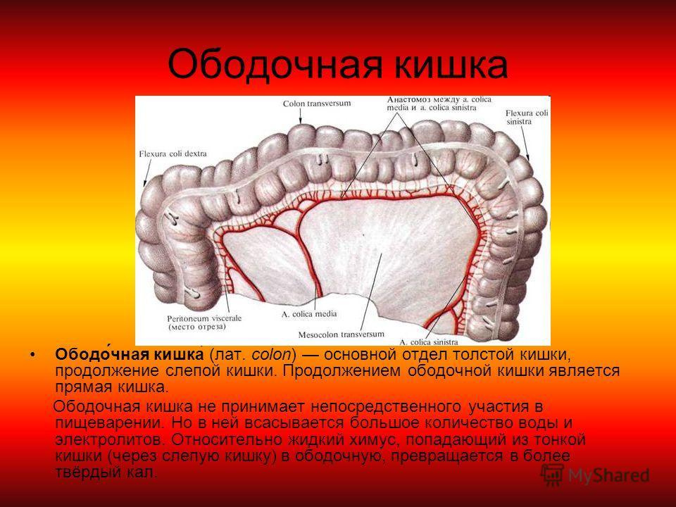 Ободочная кишка Ободо́чная кишка́ (лат. colon) основной отдел толстой кишки, продолжение слепой кишки. Продолжением ободочной кишки является прямая кишка. Ободочная кишка не принимает непосредственного участия в пищеварении. Но в ней всасывается боль