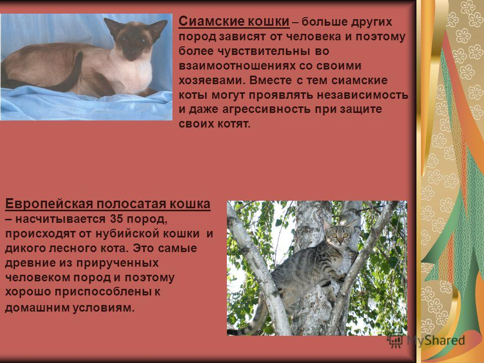 Сиамские кошки – больше других пород зависят от человека и поэтому более чувствительны во взаимоотношениях со своими хозяевами. Вместе с тем сиамские коты могут проявлять независимость и даже агрессивность при защите своих котят. Европейская полосата