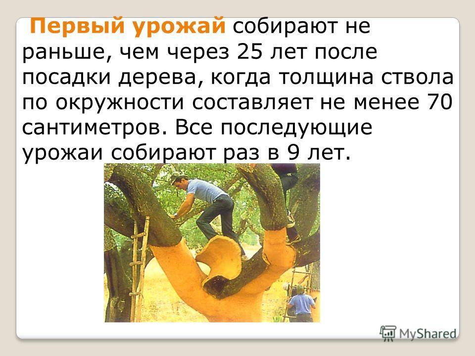 Первый урожай собирают не раньше, чем через 25 лет после посадки дерева, когда толщина ствола по окружности составляет не менее 70 сантиметров. Все последующие урожаи собирают раз в 9 лет.