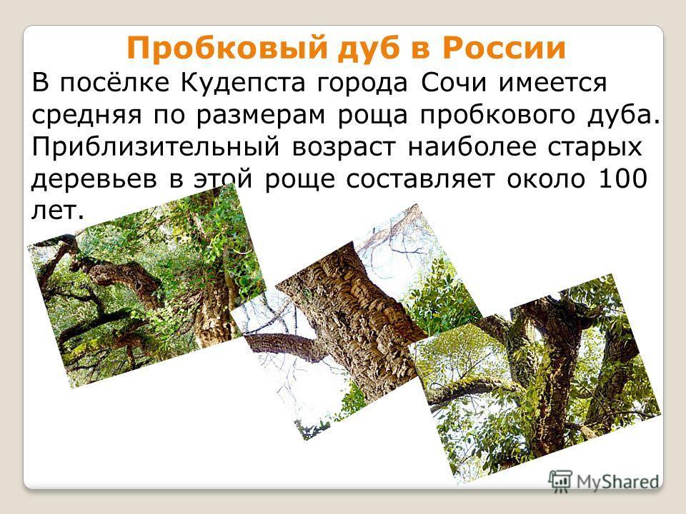 Пробковый дуб в России В посёлке Кудепста города Сочи имеется средняя по размерам роща пробкового дуба. Приблизительный возраст наиболее старых деревьев в этой роще составляет около 100 лет.