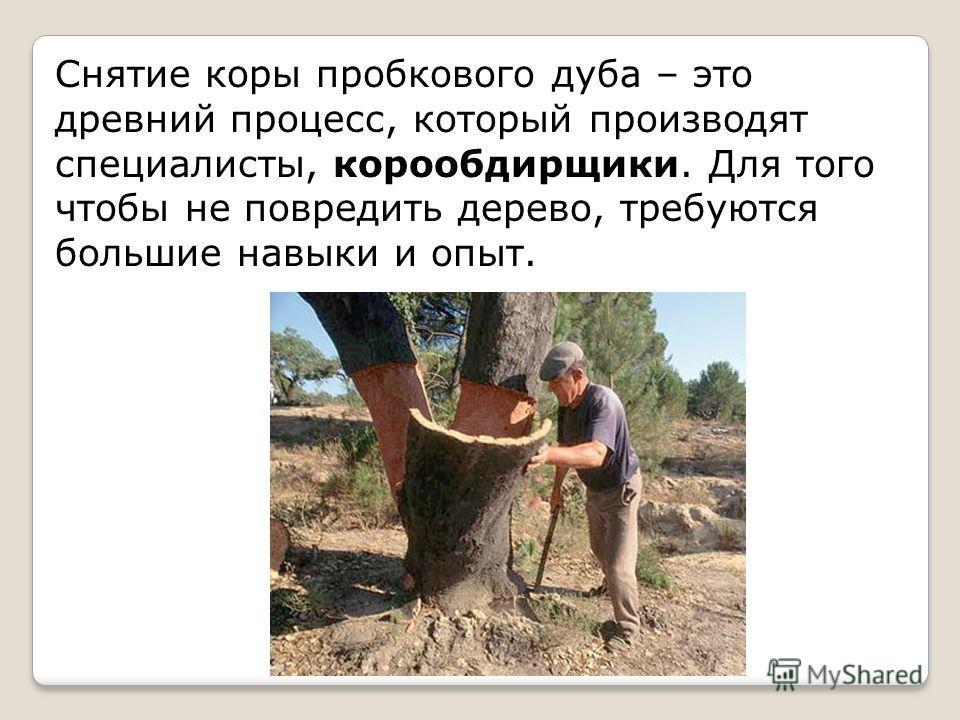 Снятие коры пробкового дуба – это древний процесс, который производят специалисты, корообдирщики. Для того чтобы не повредить дерево, требуются большие навыки и опыт.