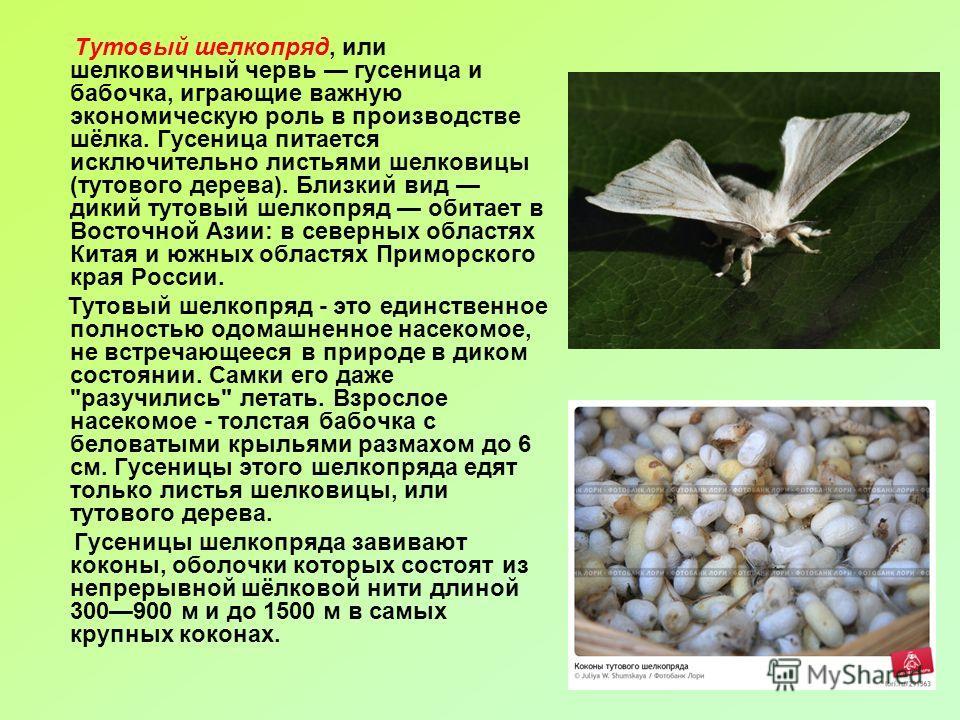 Тутовый шелкопряд, или шелковичный червь гусеница и бабочка, играющие важную экономическую роль в производстве шёлка. Гусеница питается исключительно листьями шелковицы (тутового дерева). Близкий вид дикий тутовый шелкопряд обитает в Восточной Азии: