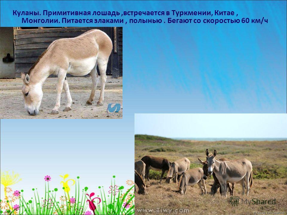 Куланы. Примитивная лошадь,встречается в Туркмении, Китае, Монголии. Питается злаками, полынью. Бегают со скоростью 60 км/ч