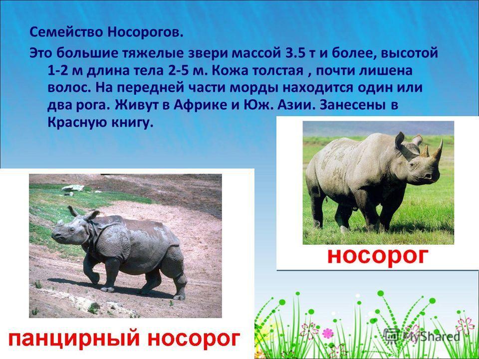 Семейство Носорогов. Это большие тяжелые звери массой 3.5 т и более, высотой 1-2 м длина тела 2-5 м. Кожа толстая, почти лишена волос. На передней части морды находится один или два рога. Живут в Африке и Юж. Азии. Занесены в Красную книгу.