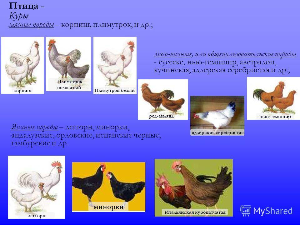 Птица – Куры : мясные породы – корниш, плимутрок, и др.; мясо-яичные, или обще пользовательские породы - суссекс, нью-гемпшир, австралорп, кучинская, адлерская серебристая и др.; Яичные породы – леггорн, минорки, андалузские, орловские, испанские чер