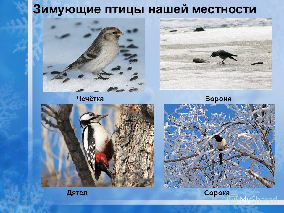 Зимующие птицы нашей местности Чечётка Ворона Дятел Сорока