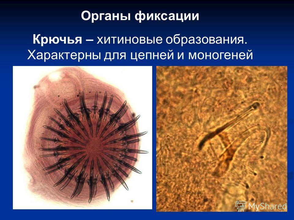 Органы фиксации Крючья – хитиновые образования. Характерны для цепней и моногенией