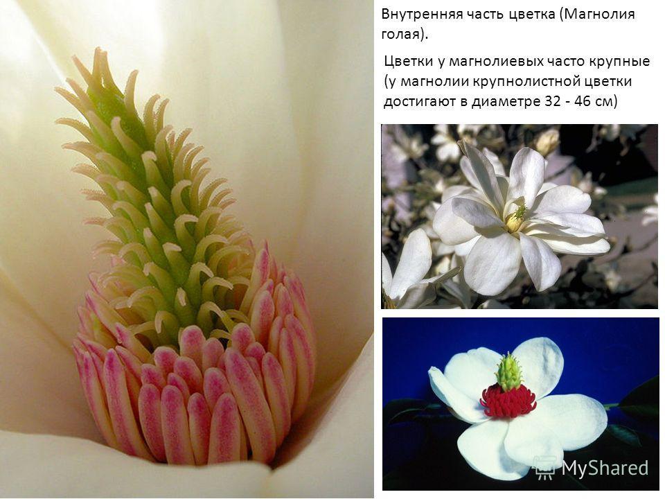Внутренняя часть цветка (Магнолия голая). Цветки у магнолиевых часто крупные (у магнолии крупнолистной цветки достигают в диаметре 32 - 46 см)
