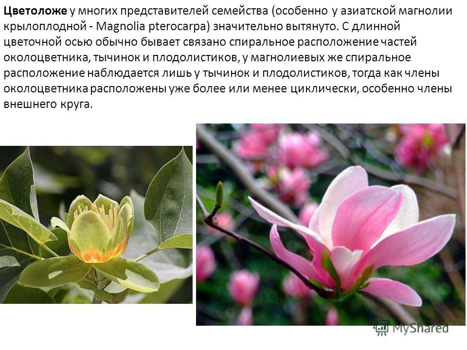 Цветоложе у многих представителей семейства (особенно у азиатской магнолии крылоплодной - Magnolia pterocarpa) значительно вытянуто. С длинной цветочной осью обычно бывает связано спиральное расположение частей околоцветника, тычинок и плодолистиков,