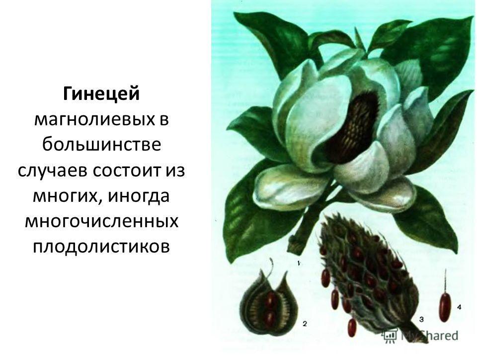 Гинецей магнолиевых в большинстве случаев состоит из многих, иногда многочисленных плодолистиков