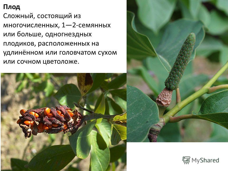 Плод Сложный, состоящий из многочисленных, 12-семянных или больше, одногнездных плодиков, расположенных на удлинённом или головчатом сухом или сочном цветоложе.