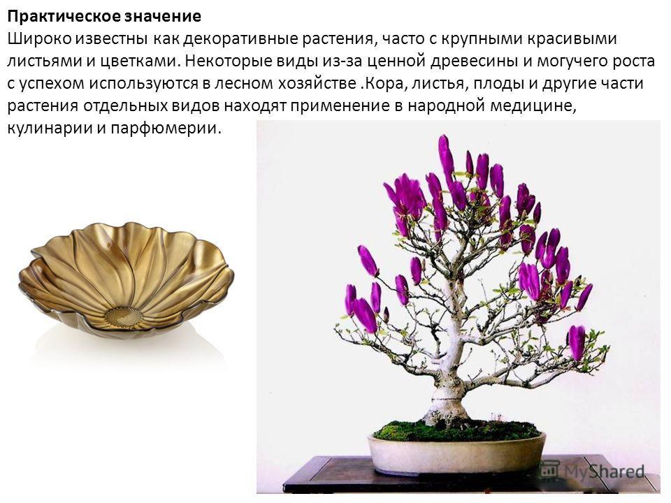 Практическое значение Широко известны как декоративные растения, часто с крупными красивыми листьями и цветками. Некоторые виды из-за ценной древесины и могучего роста с успехом используются в лесном хозяйстве.Кора, листья, плоды и другие части расте