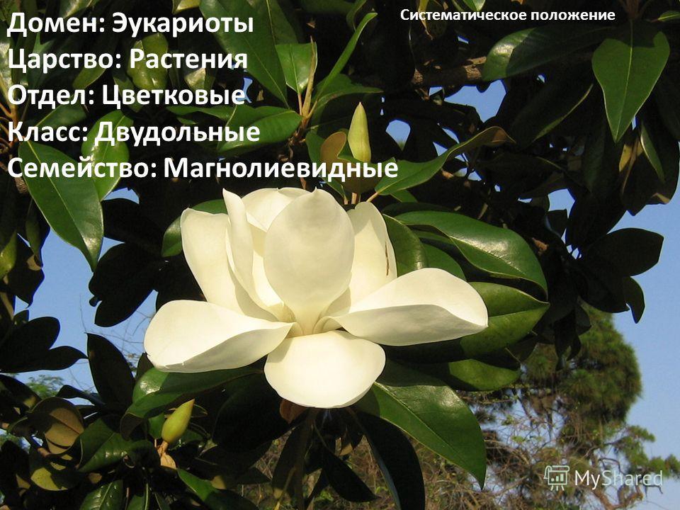 Домен: Эукариоты Царство: Растения Отдел: Цветковые Класс: Двудольные Семейство: Магнолиевидные Систематическое положение