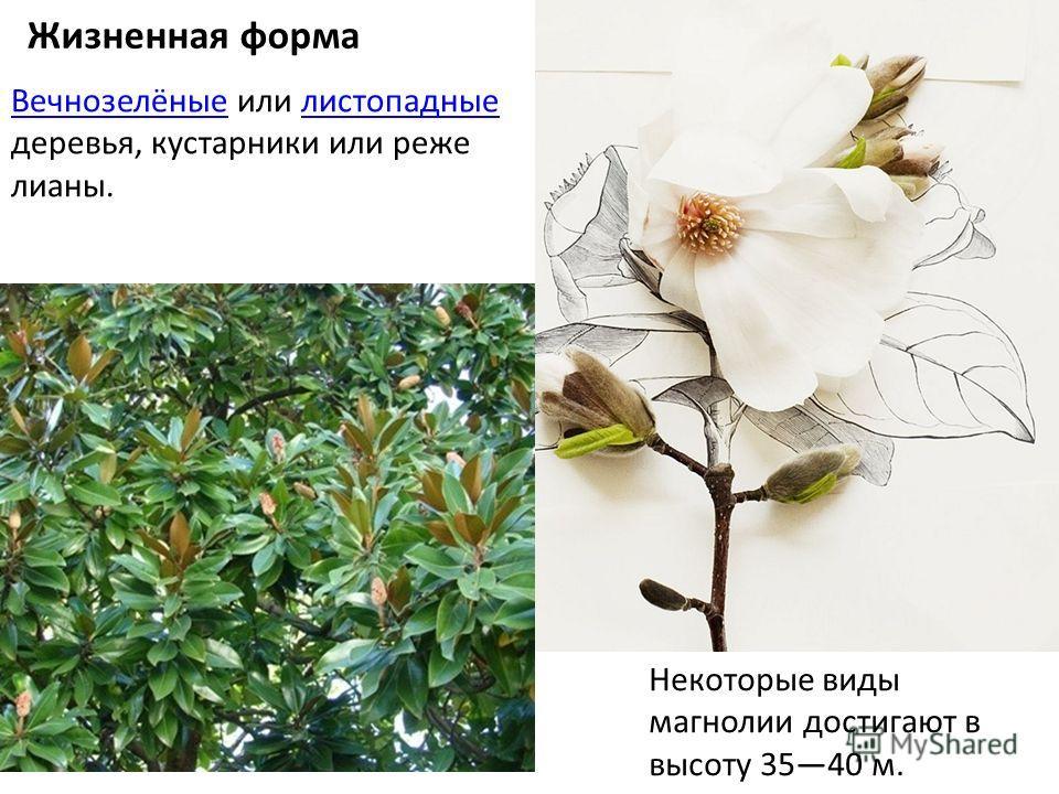 Жизненная форма Вечнозелёные Вечнозелёные или листопадные деревья, кустарники или реже лианы.листопадные Некоторые виды магнолии достигают в высоту 3540 м.