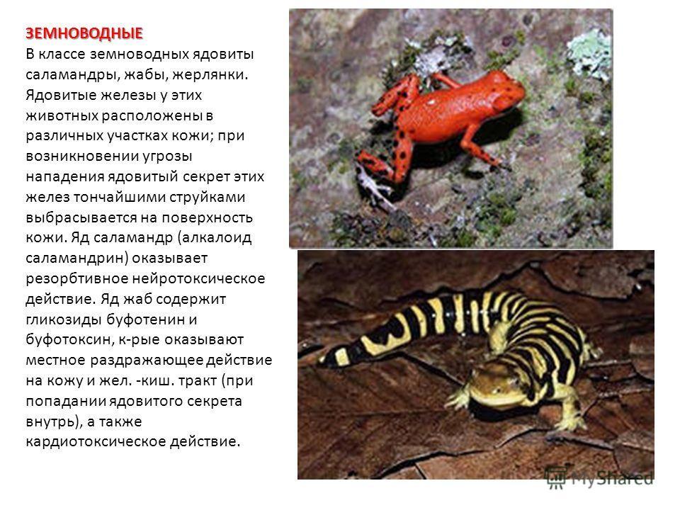 ЗЕМНОВОДНЫЕ В классе земноводных ядовиты саламандры, жабы, жерлянки. Ядовитые железы у этих животных расположены в различных участках кожи; при возникновении угрозы нападения ядовитый секрет этих желез тончайшими струйками выбрасывается на поверхност