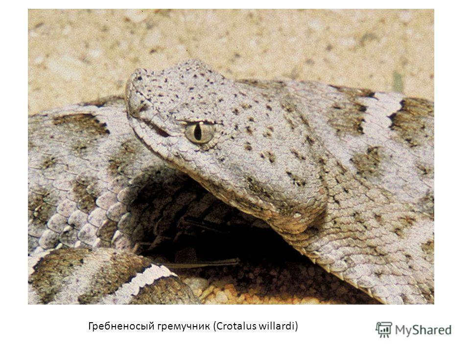 Гребненосый гремучник (Crotalus willardi)