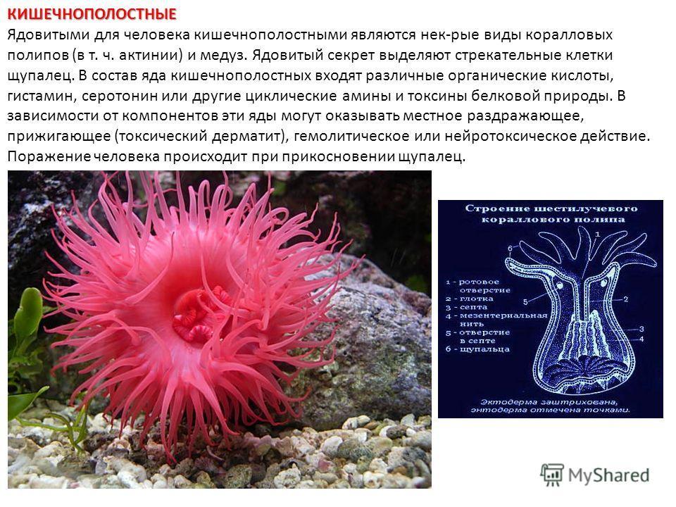 КИШЕЧНОПОЛОСТНЫЕ Ядовитыми для человека кишечнополостными являются нек-рые виды коралловых полипов (в т. ч. актинии) и медуз. Ядовитый секрет выделяют стрекательные клетки щупалец. В состав яда кишечнополостных входят различные органические кислоты,