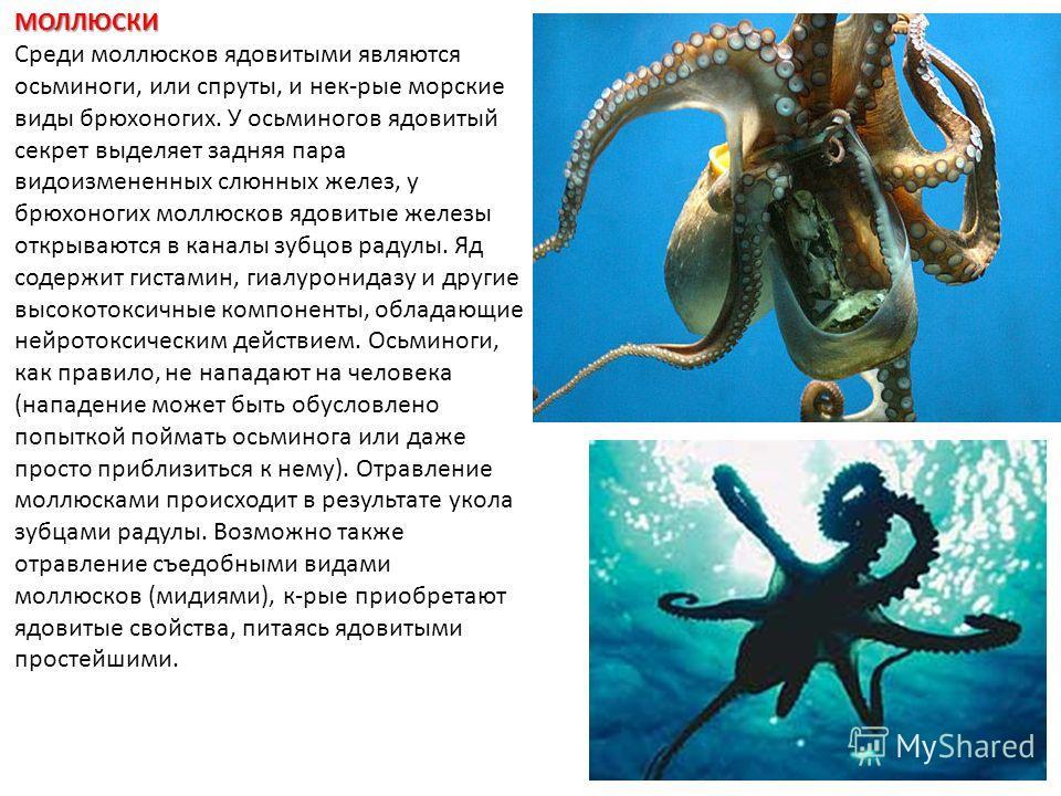 МОЛЛЮСКИ Среди моллюсков ядовитыми являются осьминоги, или спруты, и нек-рые морские виды брюхоногих. У осьминогов ядовитый секрет выделяет задняя пара видоизмененных слюнных желез, у брюхоногих моллюсков ядовитые железы открываются в каналы зубцов р