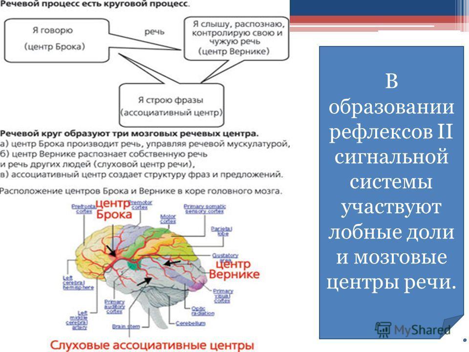 В образовании рефлексов II сигнальной системы участвуют лобные доли и мозговые центры речи.
