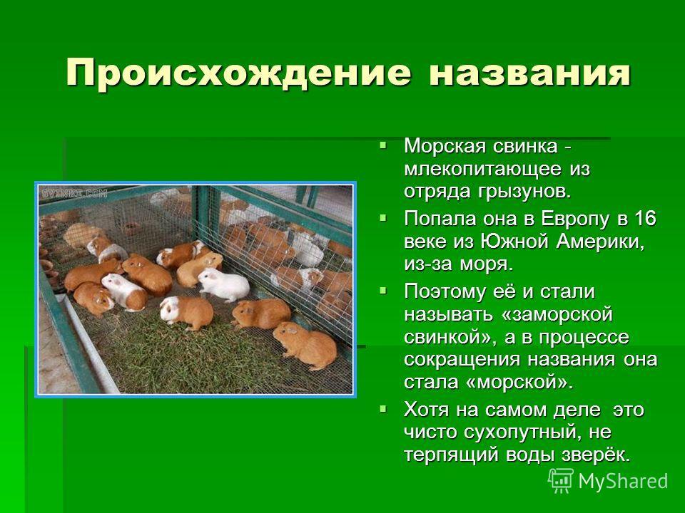 Происхождение названия Морская свинка - млекопитающее из отряда грызунов. Морская свинка - млекопитающее из отряда грызунов. Попала она в Европу в 16 веке из Южной Америки, из-за моря. Попала она в Европу в 16 веке из Южной Америки, из-за моря. Поэто
