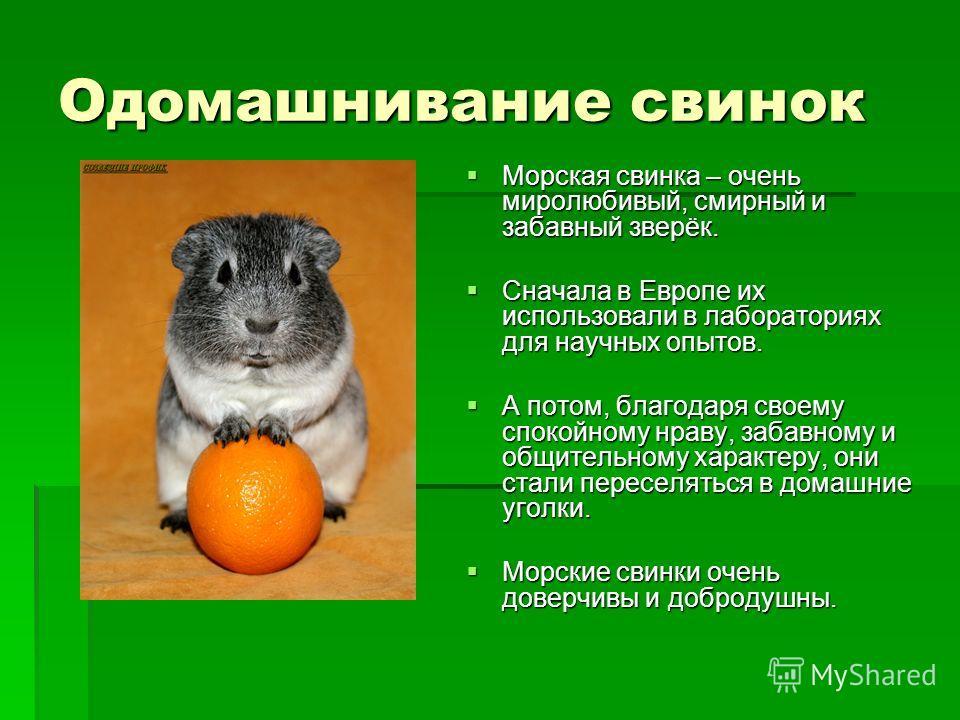 Одомашнивание свинок Морская свинка – очень миролюбивый, смирный и забавный зверёк. Морская свинка – очень миролюбивый, смирный и забавный зверёк. Сначала в Европе их использовали в лабораториях для научных опытов. Сначала в Европе их использовали в