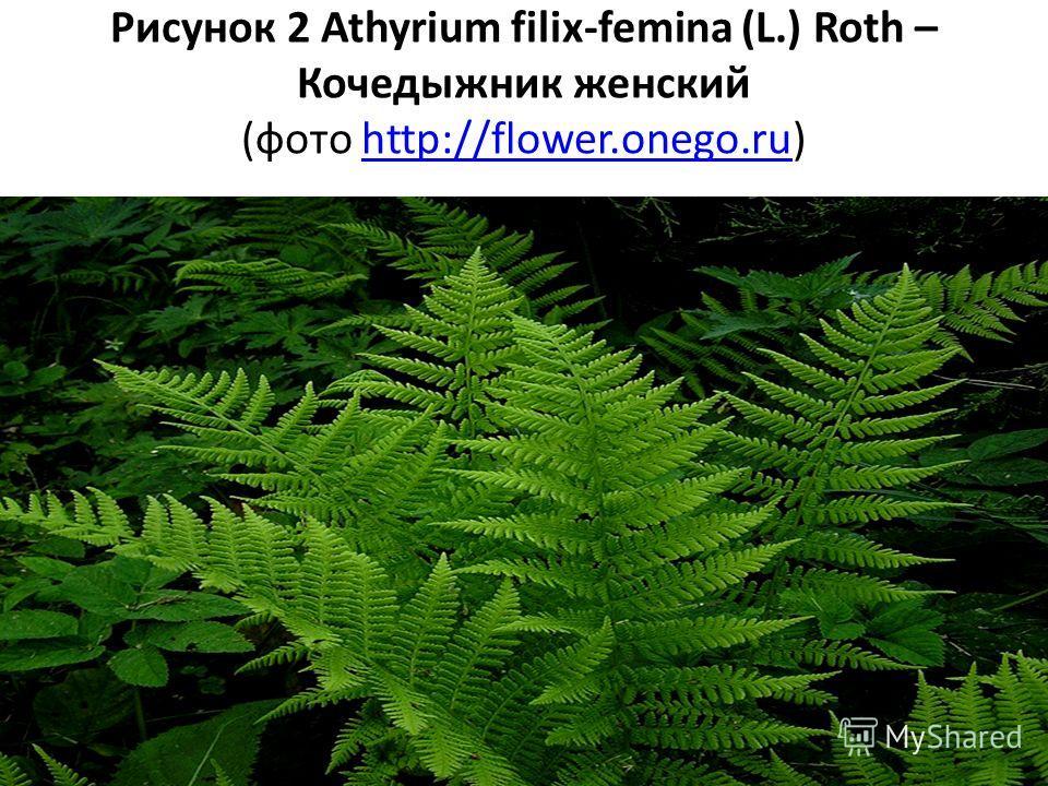 Рисунок 2 Athyrium filix-femina (L.) Roth – Кочедыжник женский (фото http://flower.onego.ru)http://flower.onego.ru