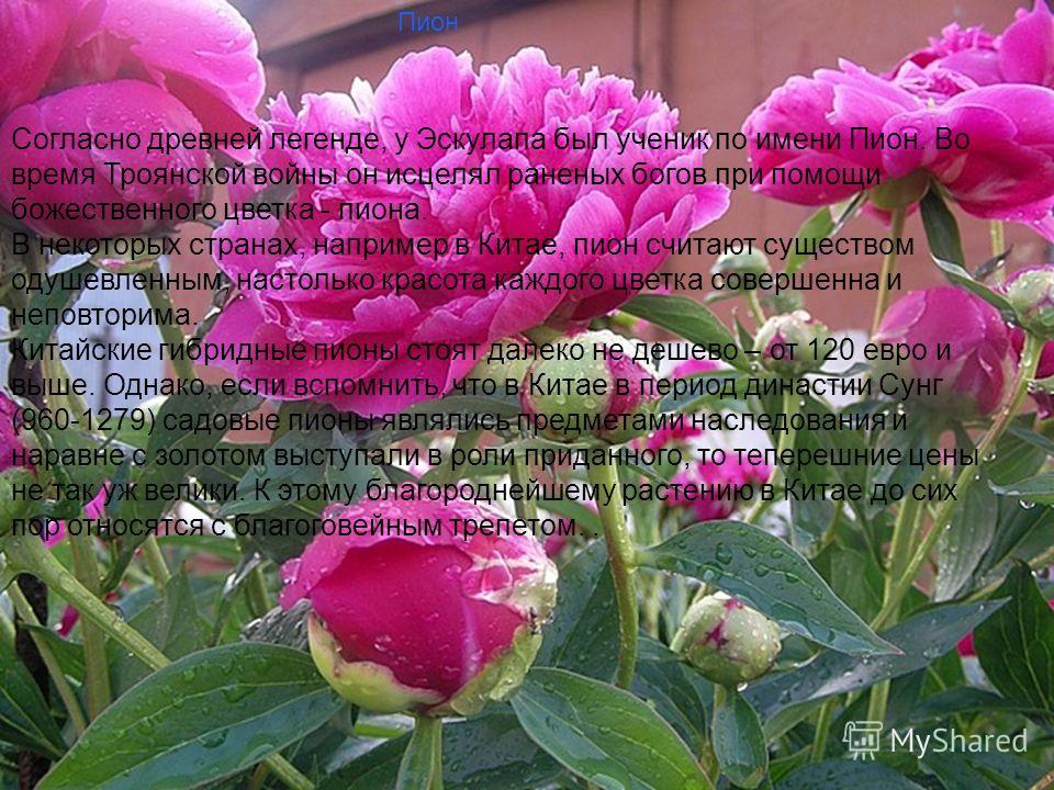 Слайд заставка Пион Согласно древней легенде, у Эскулапа был ученик по имени Пион. Во время Троянской войны он исцелял раненых богов при помощи божественного цветка - пиона. В некоторых странах, например в Китае, пион считают существом одушевленным,