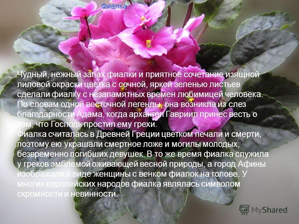Слайд заставка Фиалка Чудный, нежный запах фиалки и приятное сочетание изящной лиловой окраски цветка с сочной, яркой зеленью листьев сделали фиалку с незапамятных времен любимицей человека. По словам одной восточной легенды, она возникла из слез бла