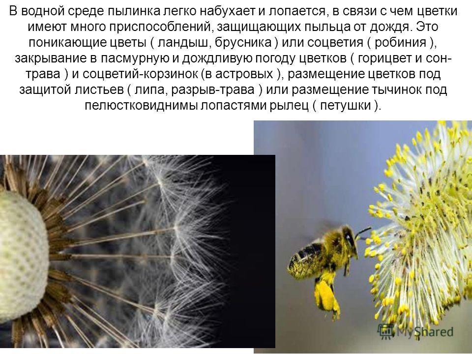 В водной среде пылинка легко набухает и лопается, в связи с чем цветки имеют много приспособлений, защищающих пыльца от дождя. Это поникающие цветы ( ландыш, брусника ) или соцветия ( робиния ), закрывание в пасмурную и дождливую погоду цветков ( гор